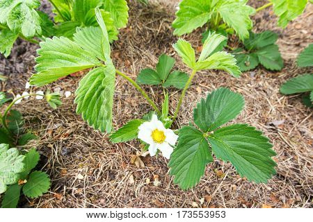 Strawberry bush blooming on the ground. horizontal frame