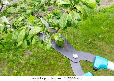 pruning shears trees. horizontal frame. top view