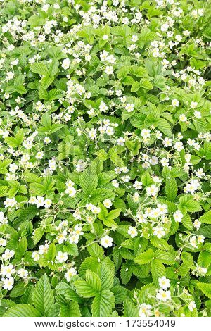 blooming strawberries. commercial cultivation of strawberries. top wiev