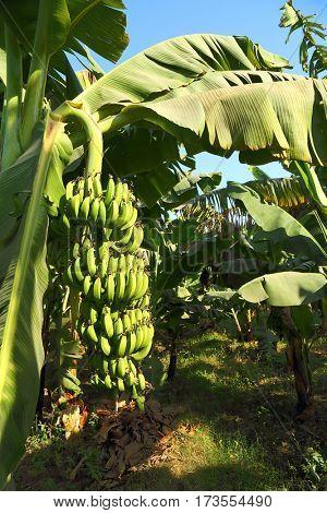 Banana fruits on plantation in egypt