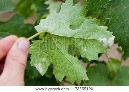 Closeup of vine grape leaf affected by Downy Mildew (Plasmopara vitikola) rear view