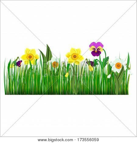 Pansy flowers violet bloom green garden grass plant vector illustration. Nature colorful summer beauty pansies flower. Romantic garden viola plant spring pansies floral blossom.