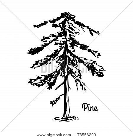 Vector sketch illustration. Silhouette of Pine isolated on white background. Coniferous tree. Black Pine.
