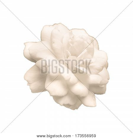 Beautiful rose in pastel tones side view photo isolated in white background.