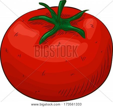 Tomato vector. Isolated on white background. Tomato food ingredient. Engraved tomato hand drawn illustration in red color. Organic Food, sauce, dishes component.