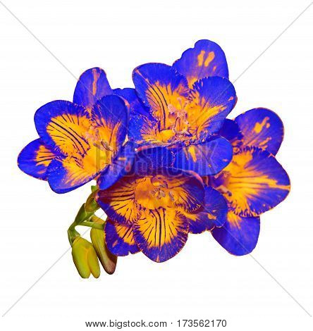 Blue With Yellow Freesia Flower, Green Buds, Isolated On White Background