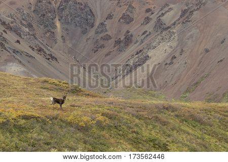 a barren ground caribou bull in velvet in Denali National Park Alaska