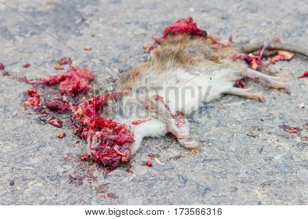 Dead rat on road with blood because of vehicles