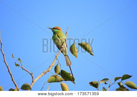 Green Bee Eater Bird in New Delhi India