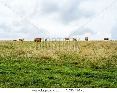 Several orange cows on the horizont looking towards the camera, green meadow with dry grass and cloudy sky, two horizontal halves, Czech republic, central Europe