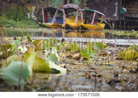 Lifestyle In Dal Lake, Local People Use 'shikara', A Small Boat For Transportation In The Lake Of Sr