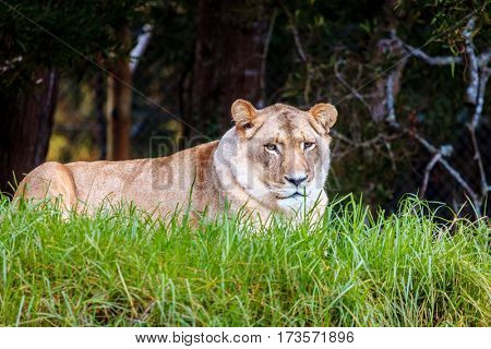White lioness resting
