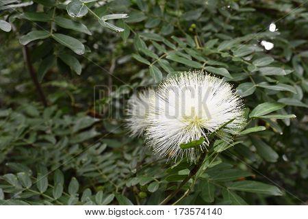 White Powder puff flower (Calliandra haematocephala) from Botanical garden Puerto de la Cruz Tenerife Spain.
