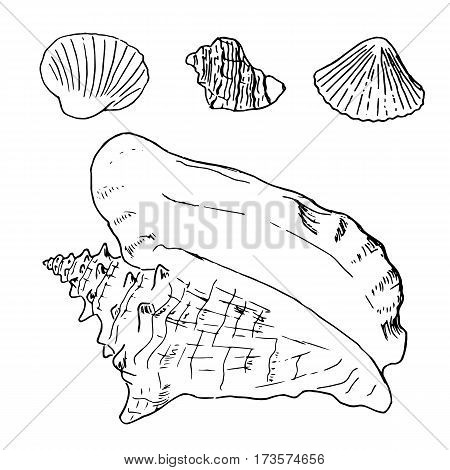 Set Of Various Beautiful Mollusk Sea Shells, Sketch Illustration