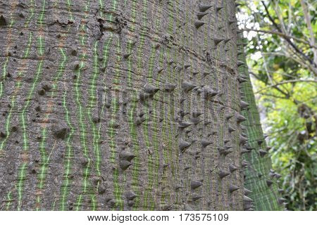Closeup of the bark of the Kapok tree (Ceiba pentandra) whit its thorns picture from Botanical garden Puerto de la Cruz Tenerife Spain.