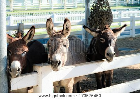 Three donky on the farm sticking out of the stall to eat