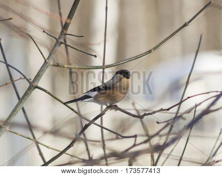 Brown Female of Eurasian Bullfinch Pyrrhula pyrrhula close-up portrait on branch with bokeh background selective focus shallow DOF