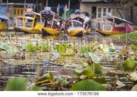 Srinagar, India - October 17, 2013 : Lifestyle In Dal Lake, Local People Use 'shikara', A Small Boat