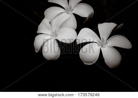 Frangipani in the dark Black and white image