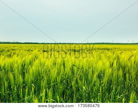 Wheat Field Waves Moved By Summer Wind Nature