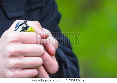 Titmouse bird in hand in the palm of your hand in the green forest