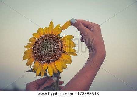 Beautiful Sunflower And  Woman Hand At Sunset. Toning Photo