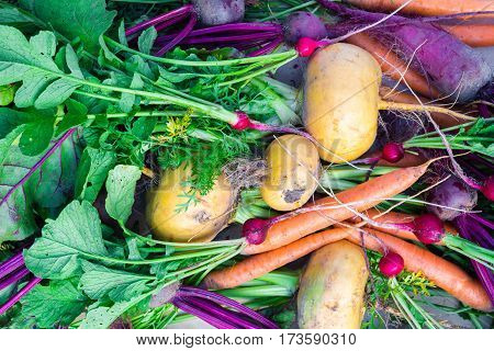 Fresh organic turnip, carrot, beetroot and radish with soil and greenery, top view