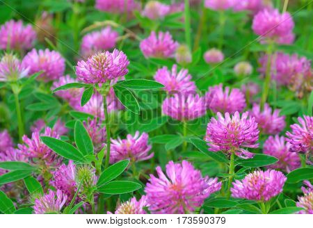 Pink clover flowers on meadow selective focus