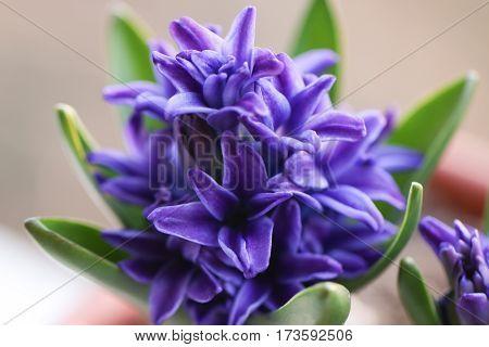 Purple hyacinth flowers. Macro shot. Spring flowers.