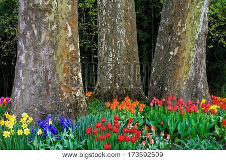 Tulips in front of three huge plane trees in Spring.