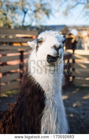 Portrait of Llama in the park or zoo. Funny domestic lama glama.