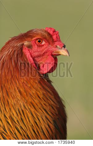 Chinese Brahma special breed cockerel with gold red and black feathers against a green background. poster