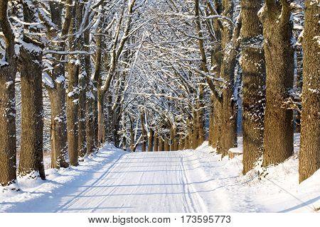 Oak alley country road in winter wonderland