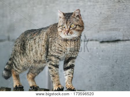 old tabby cat menacing is on the fence