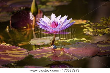 A beautiful water lilly growing in a pond. Color image.