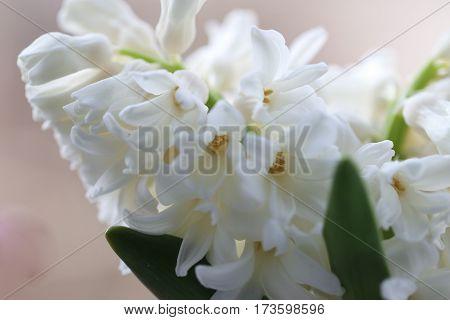 White hyacinth flower (common hyacinth garden hyacinth or Dutch hyacinth) close up.