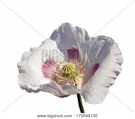 Detail of flowering poppy or opium poppy in Latin papaver somniferum poppy flower isolated on the white background white colored poppy is grown in Czech Republic