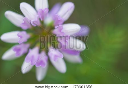 Crownvetch in bloom.Due to the small depth of field flower petals are shaped pink hearts.SummerJune.Ukraine