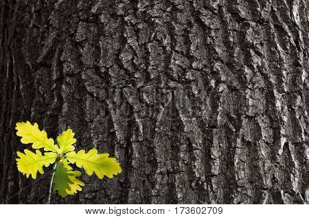 Young bright green sprout of oak in the background of the old oak.Small young leaves on a background texture of rough oak bark.SpringSummer.Ukraine