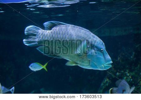 Humphead wrasse (Cheilinus undulatus), also known as the Napoleon fish.