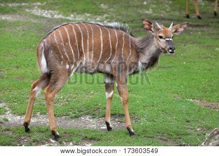 Nyala (Tragelaphus angasii). Wildlife animal.