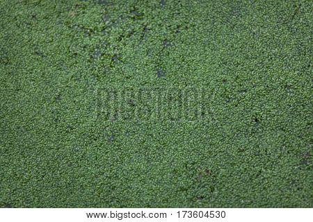 Common duckweed (Lemna minor). Full frame texture.