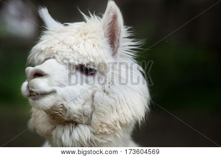 Llama (Lama glama). Domestic animal.