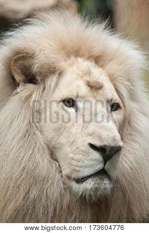 Male white lion. The white lions are a colour mutation of the Transvaal lion (Panthera leo krugeri), also known as the Southeast African or Kalahari lion.