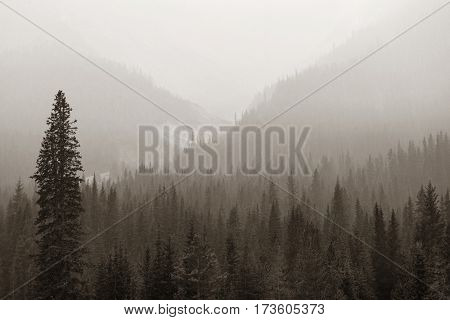 Foggy mountain forest in Banff National Park.