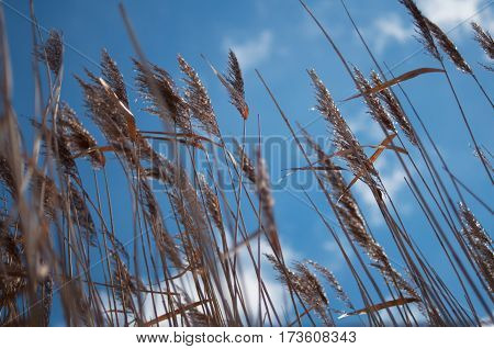 reeds on blue sky background in Belarus