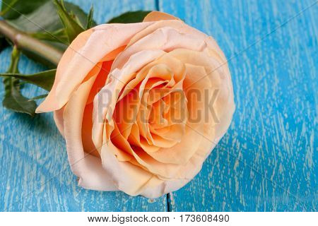 fresh beige rose on a blue wooden background.
