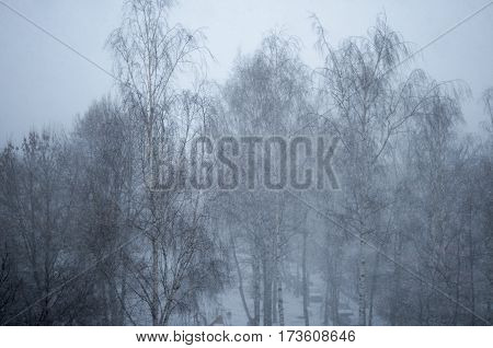 View of beautiful winter birch in Belarus
