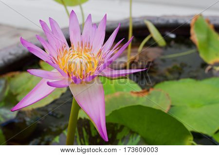 Opened lotus flower in traditional asian pond