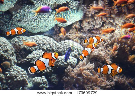 Sea corals and clown fish in marine aquarium